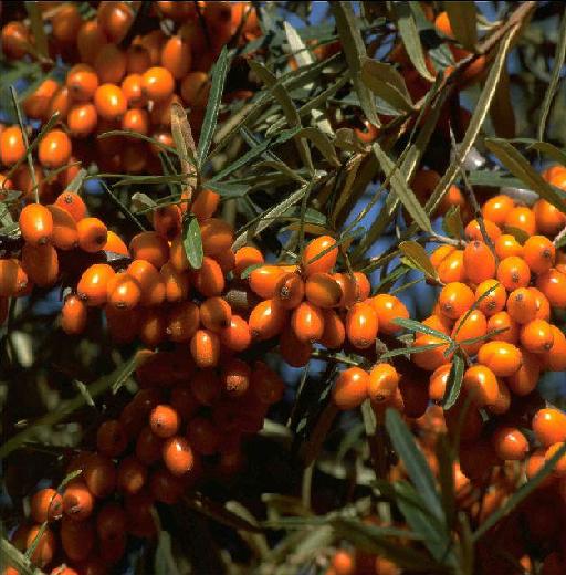 Sanddorn Leikora Früchte