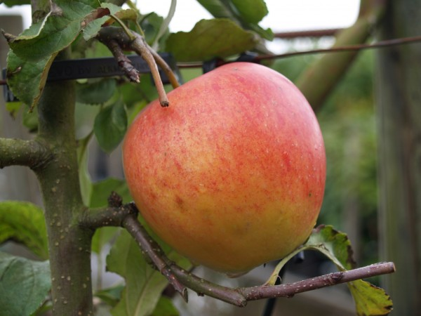 Apfel - Pinova ®