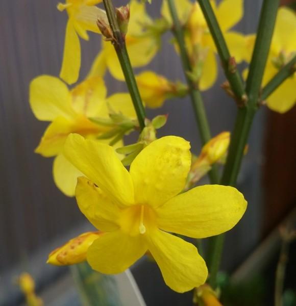Jasminum nudiflorum Winterjasmin