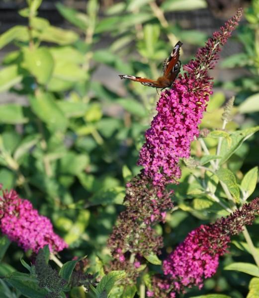 Sommerflieder Schmetterlingsstrauch