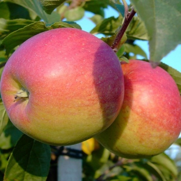 Apfel - Reglindis ®
