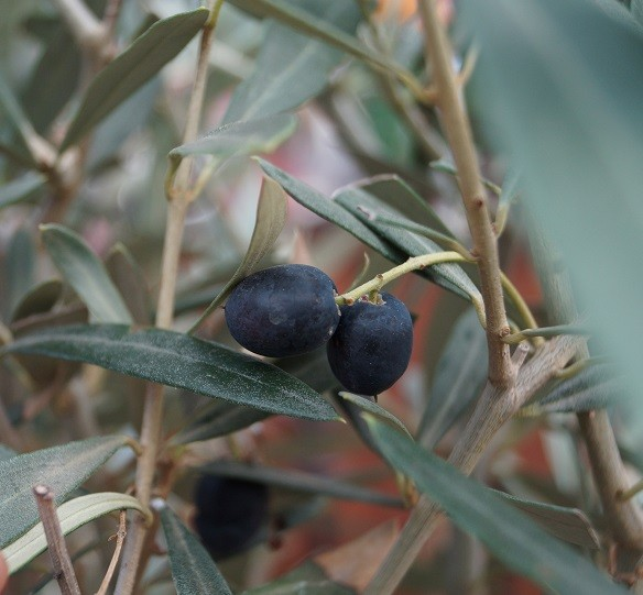 Olivenbaum - Stämmchen