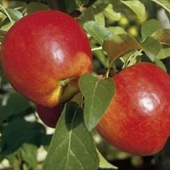 Apfel - Nela ®