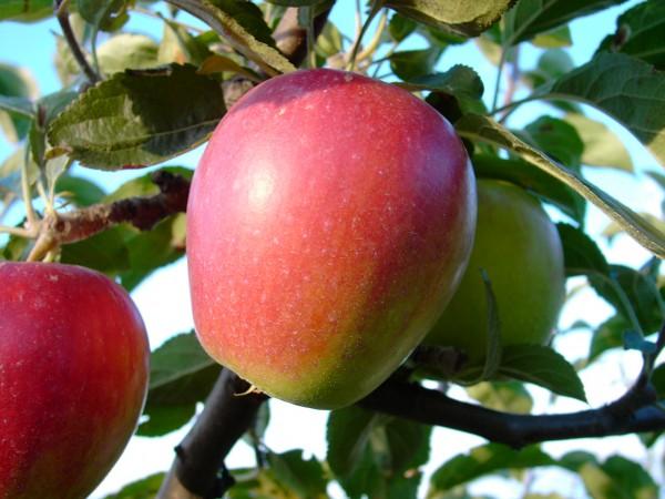 Apfel - Retina ®