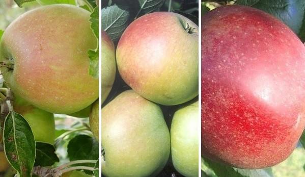 Drei-Sorten-Apfelbaum (Finkenwerder Prinz, James Grieve, Roter Boskoop)