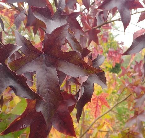 Amberbaum-Herbstf-rbung-profilbild