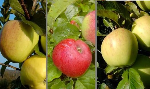 Trio-Apfelbaum