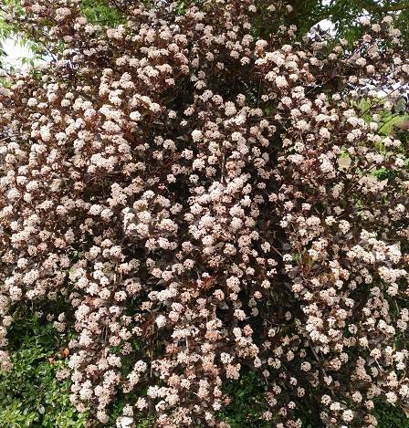 Rotlaubige Fasanenspiere