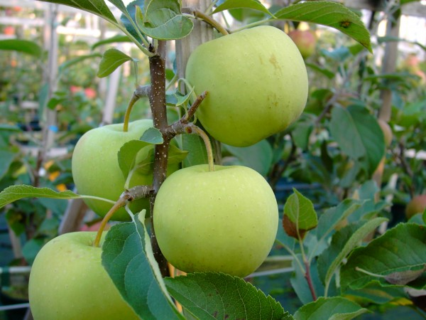 Apfel - Golden Delicious