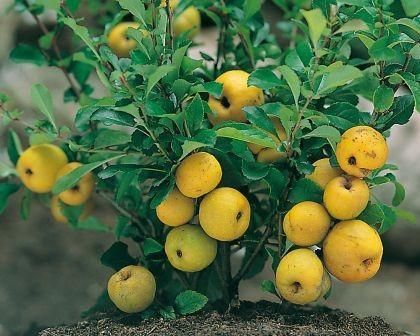 Cido-Nordische Zitrone