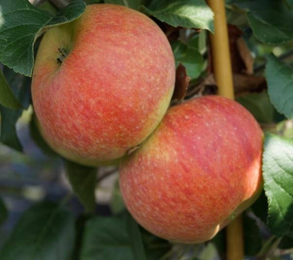 Apfel Alkmene