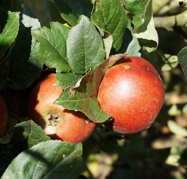 Schöner aus Nordhausen Apfel