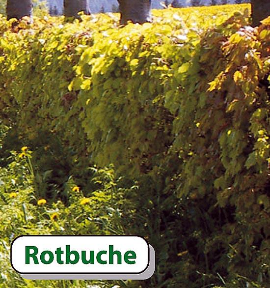 rotbuche 80 100 cm fagus sylvatica heckenpflanzen. Black Bedroom Furniture Sets. Home Design Ideas
