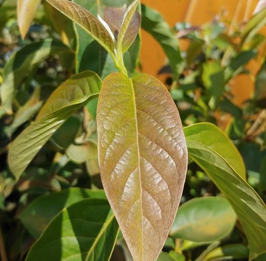 Schwarzer Tupelobaum `Wildfire´ 150-175cm