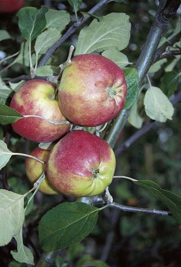 Apfel - Danziger Kantapfel