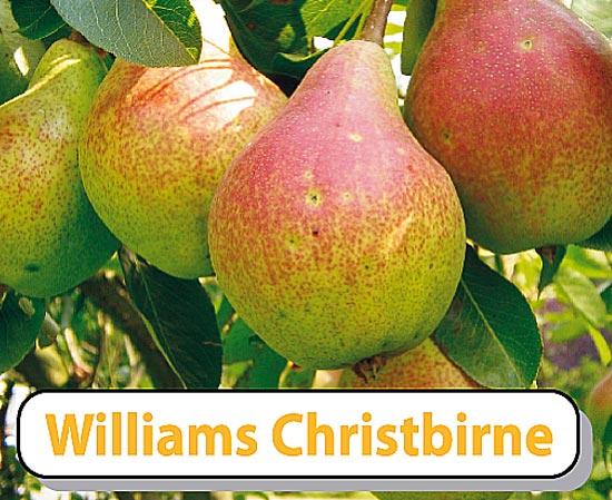 Birnensorte Williams Christ - weltberühmt, aromatisch und ertragreich