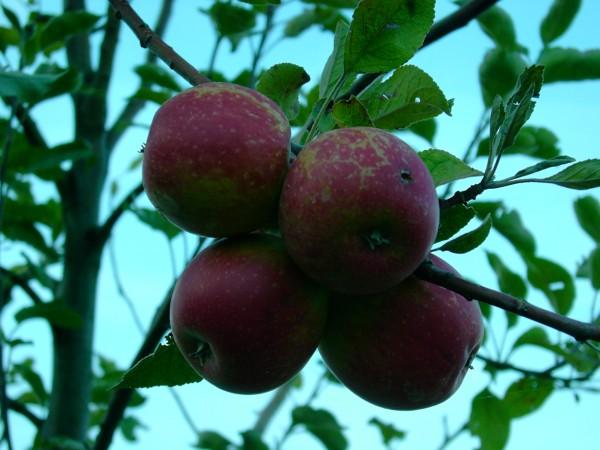 Apfel - Purpurroter Cousinot