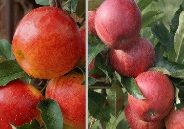 Duo-Apfelbaum