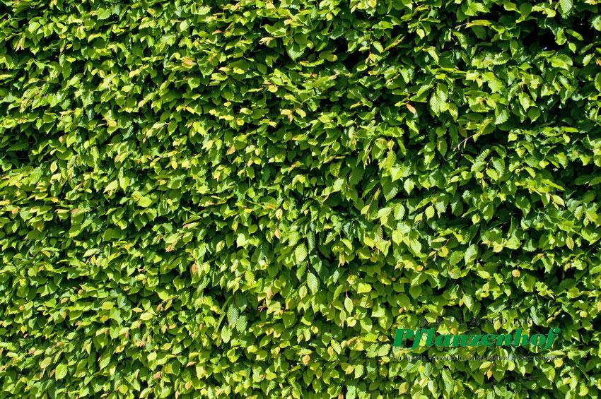 weissbuche hainbuche carpinus betulus heckenpflanzen buchen artl nder pflanzenhof. Black Bedroom Furniture Sets. Home Design Ideas