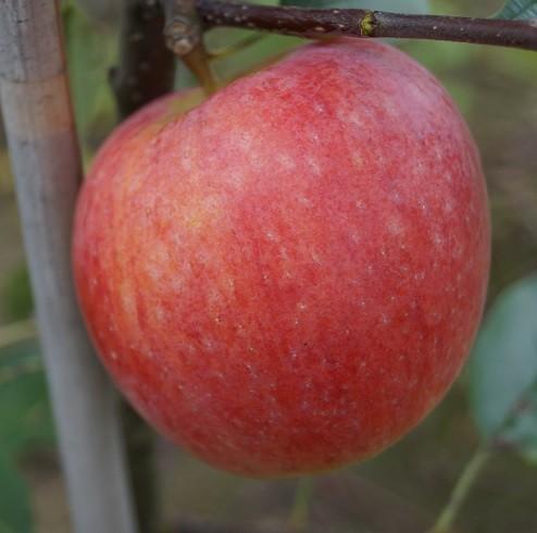 Rebella Apfel