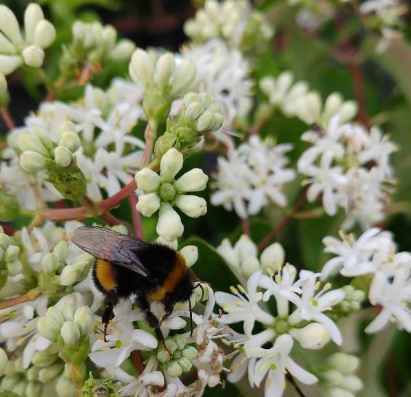 Blüte des Sieben-Söhne-Strauchs