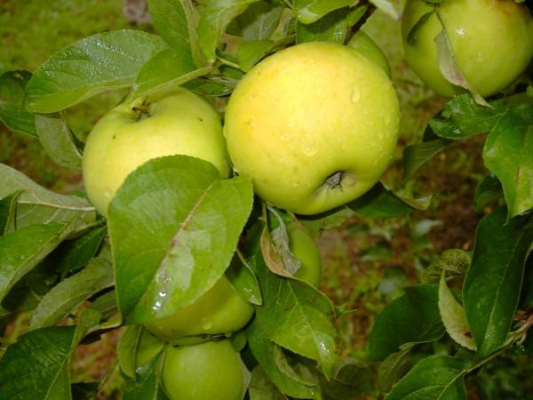 Apfel - Gelber Edelapfel