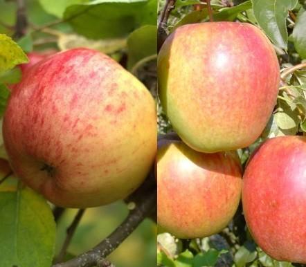 Apfel - Duo-Apfelbaum, Topaz & Rewena