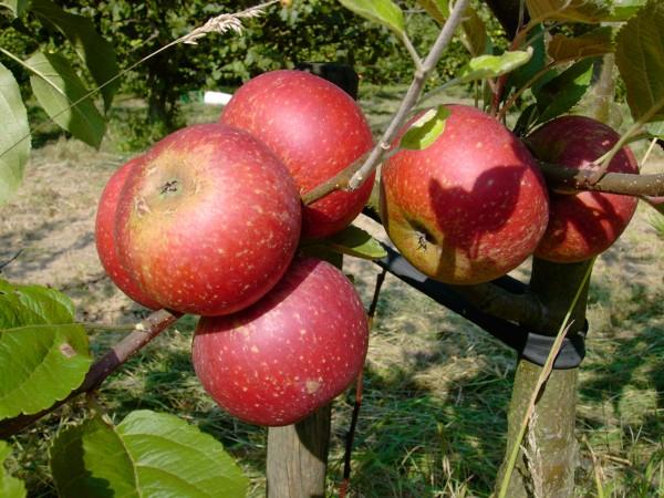 Apfel - Ingrid Marie