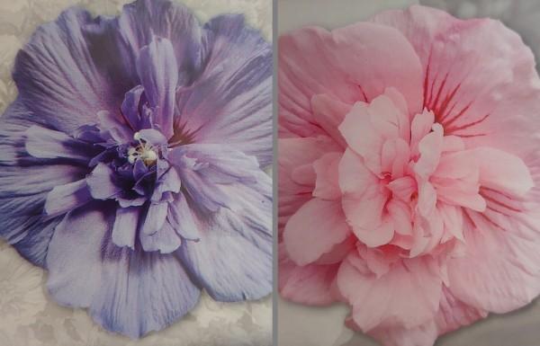 Hibiskus-Set `Pink Chiffon´ & `Blue Chiffon´