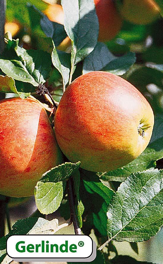 Apfelsorte Gerlinde - Lagerapfel mit früher Erntereife