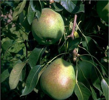 Birnensorte Alexander Lucas - großfruchtige Winterbirne mit ausgezeichnetem Geschmack