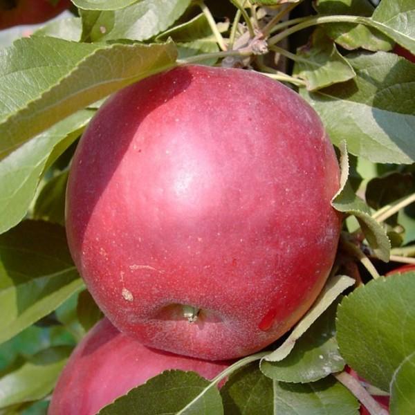 Apfel - Liberty