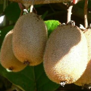 Kiwi Solo (selbstfruchtbar)