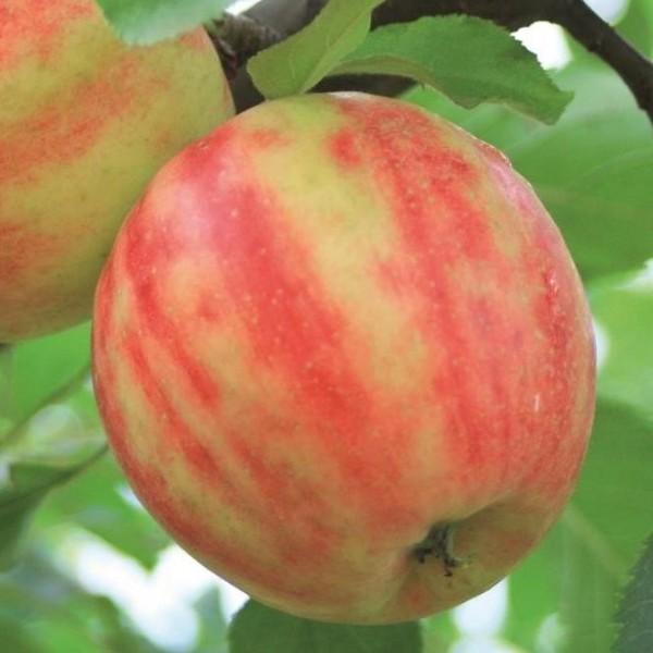 Apfel - Karneval ?