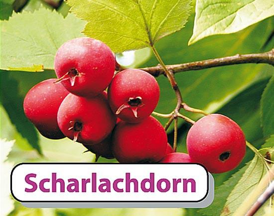 Scharlachdorn