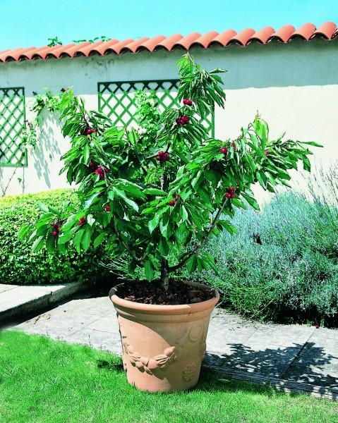 Ältere Garden Bing Zwerg-Süßkirsche