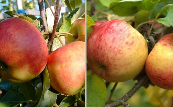 Apfel - Duo-Apfel Elstar - Topaz