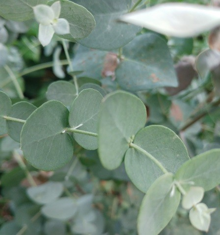 Eukalyptus Blatt