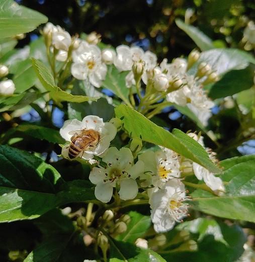 Blüte des Apfeldorn