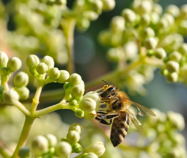 Bienenbaum, Tausendblütenstrauch