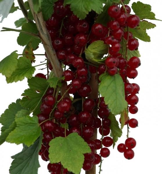 Jonkheer Frucht