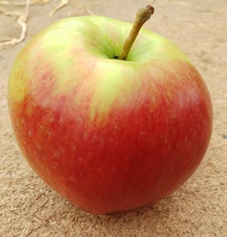 Apfel - Ligol