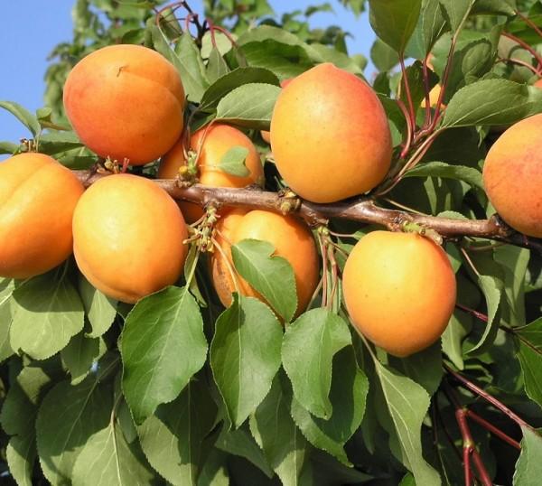 Kompakt wachsende Aprikose `CompactaⓇ´