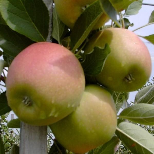 Apfel - Braeburn