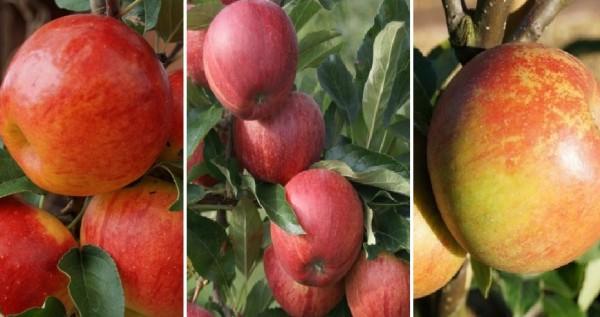 Drei Sorten Apfel Gala Elstar Cox Orange