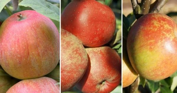Drei-Sorten-Apfel Trioapfel