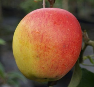 Aromatische und ertragreiche Apfelsorte Rebella