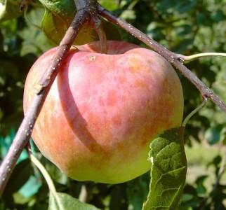 Apfel - Jamba