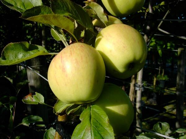 Apfel - Dülmener Rosenapfel