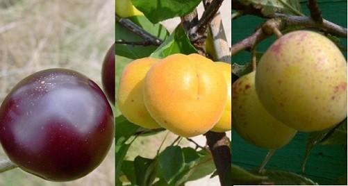 Trio-Obst - Aprikose, Mirabelle, jap. Pflaume